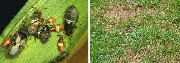 Lawn insects control