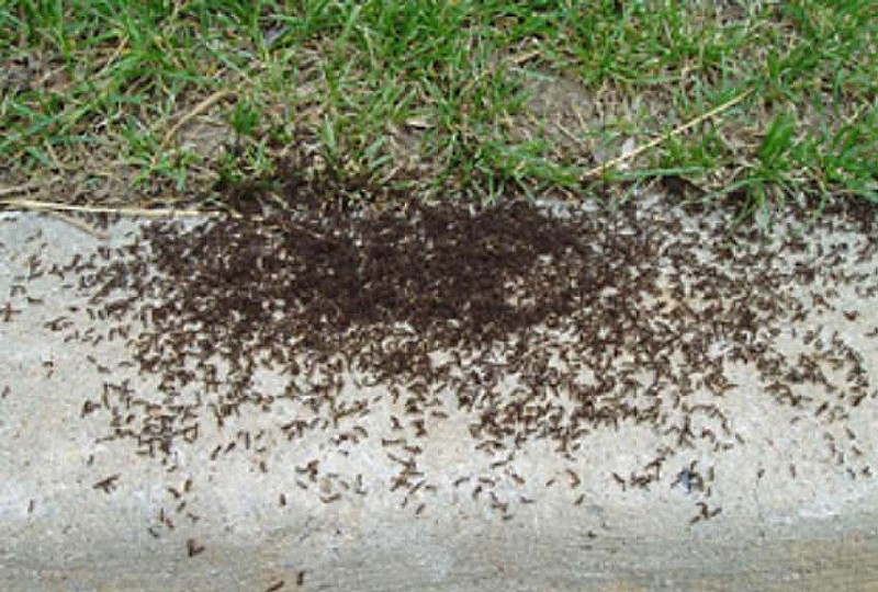 Lawn Ants Colony